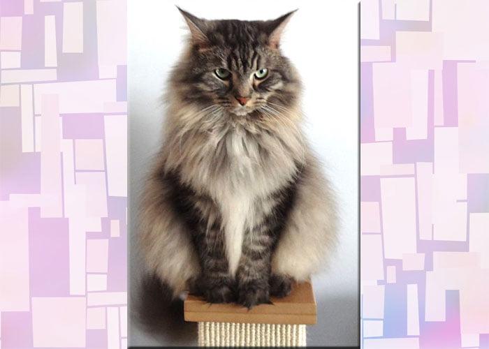 Siberian cat Katlina AJ