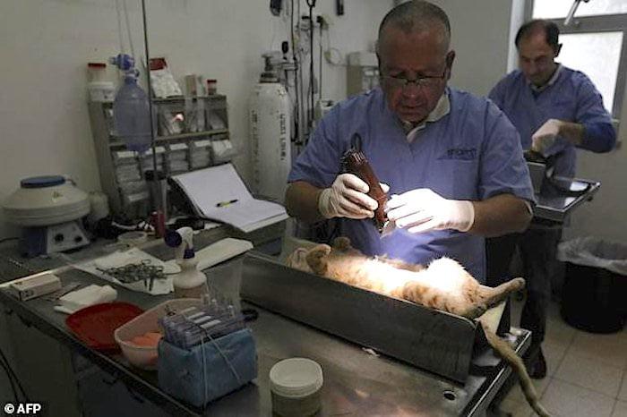 Sterilising the street cats of Jerusalem