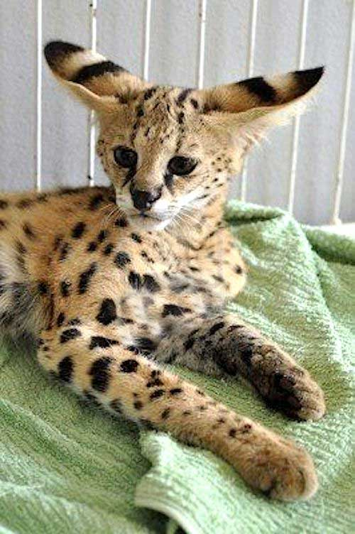 Young serval enormous ears proportional to body size
