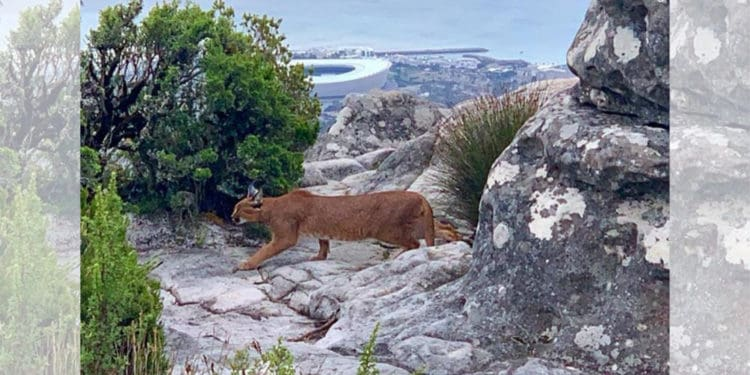 Caracal on Table Top Mountain