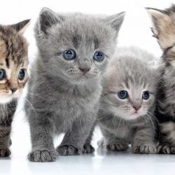 Cat rescue kittens waiting for an adopter