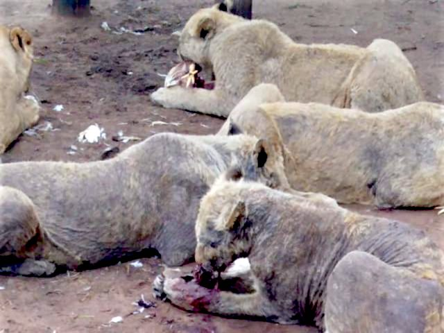 Lions with total mange on John Steinman's farm in SA