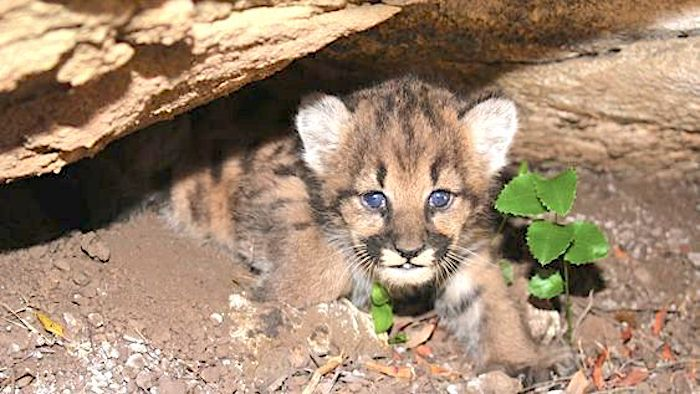A litter of 4 female mountain lion kittens was found in the Simi Hills habitat in California. Photo: National Park Service.