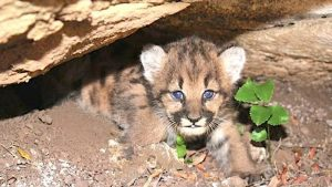 Mountain lion cub in Southern California