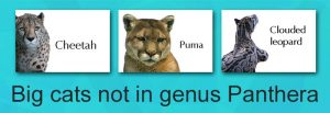 Big cats not in genus Panthera