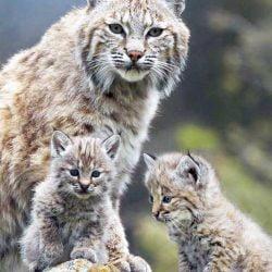 Bobcat and kittens