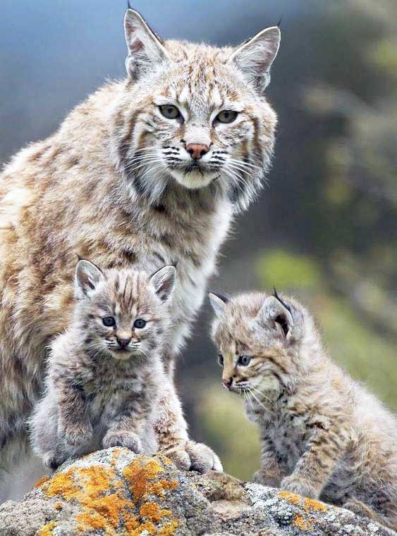 Bobcat and her cubs
