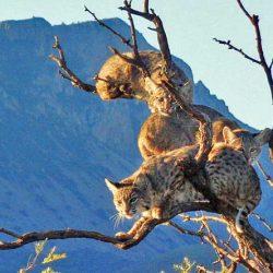 Three bobcats in a tree