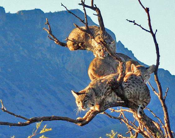 Three bobcats in a tree. It looks uncomfortable and cramped. Photo in public domain.