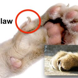 Cat dewclaw picture