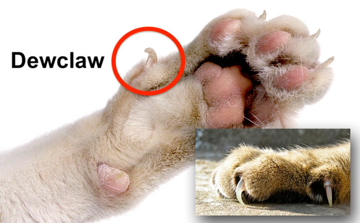 Feline dewclaw. Photos in public domain or fair use.
