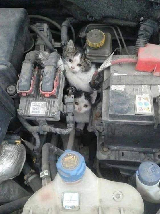 Cats rescued from car engine compartment.