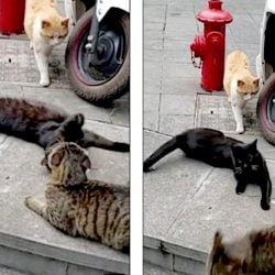 Feline love triangle