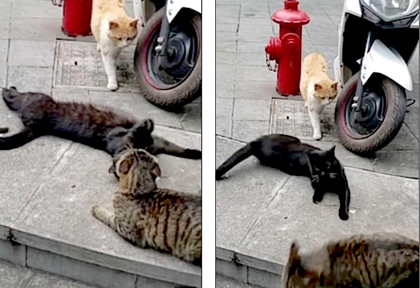 Feline love triangle? Or one dominant cat dominating two others on his territory?