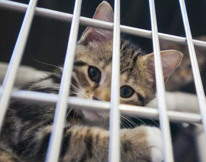 Kittens await adoption Tuesday at the Humane Society of Southeast Missouri in Cape Girardeau. BEN MATTHEWS
