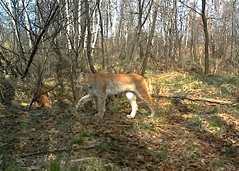 Eurasian lynx at Chernobyl. The Eurasian lynx is the largest of the lynx family of wild cats.