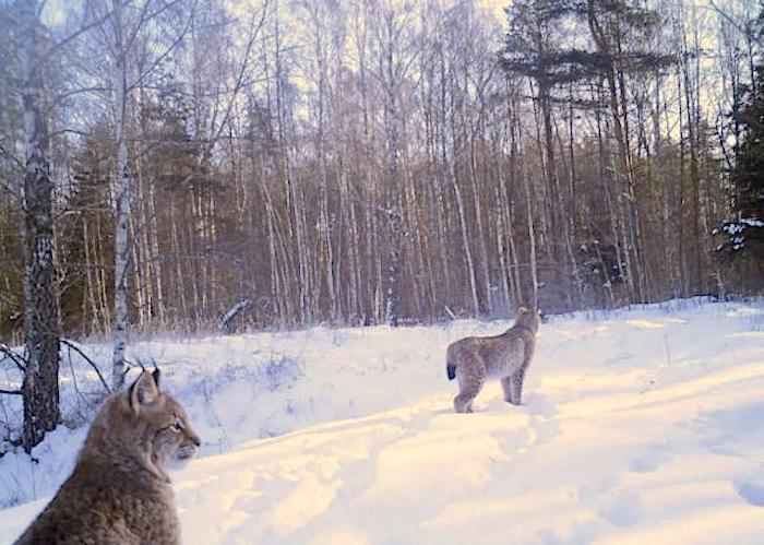 Eurasian lynx enjoying the wilderness created by the Chernobyl explosion. Photo in public domain/fair use.