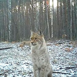 Lynx at Chernobyl exclusion zone