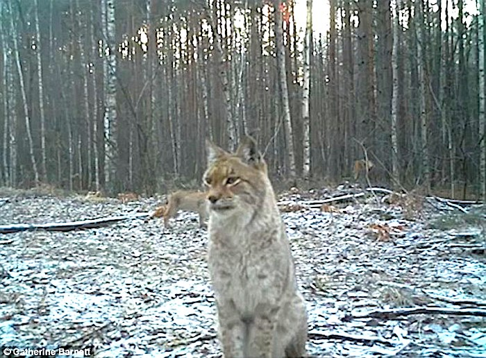 Lynx in the 1,000 square mile Chernobyl exclusion zone. Camera trap photo: Catherine Barnett.