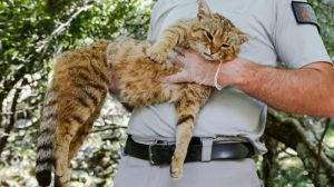 New species of wild cat in Corsica?