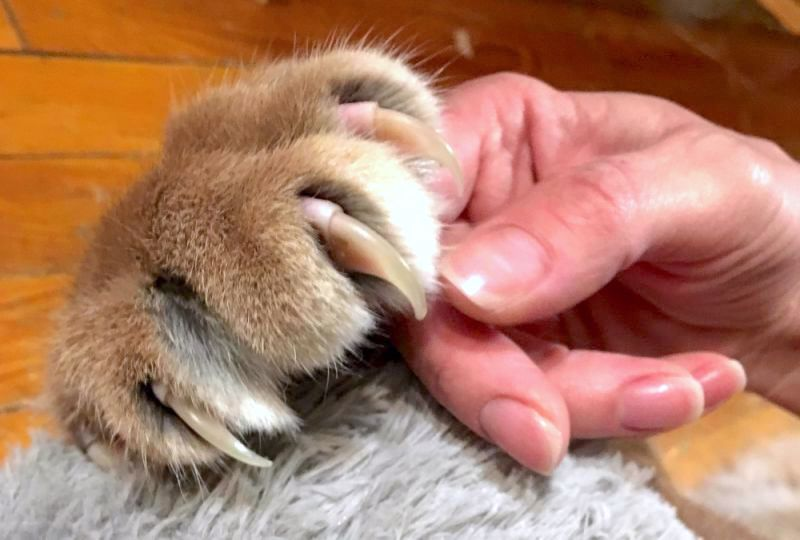 The claws of a pet caracal