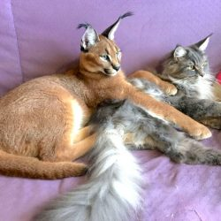 Pet caracal with Maine Coon companion
