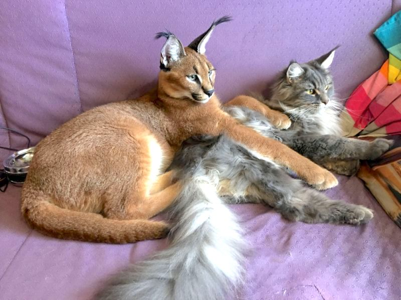 Pictures Of Pet Caracal With Maine Coon Companion Poc