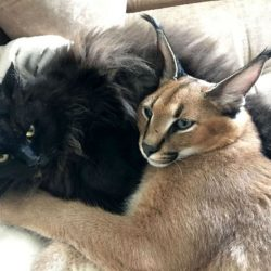 Pet caracal with domestic cat friend