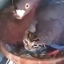 Pigeon protects her chick a cat