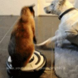 Siamese cat rides robot vacuum cleaner
