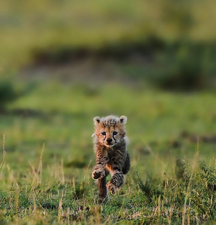 Young cheetah cub vulnerable to a lion attack