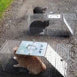 cats in traps