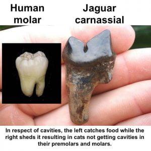 Human molar versus jaguar carnassial
