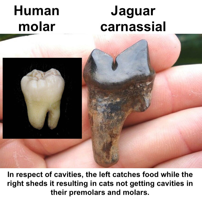 Human and cat molars comparison.