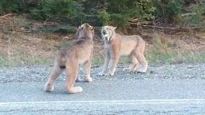 Lynx howling at each other