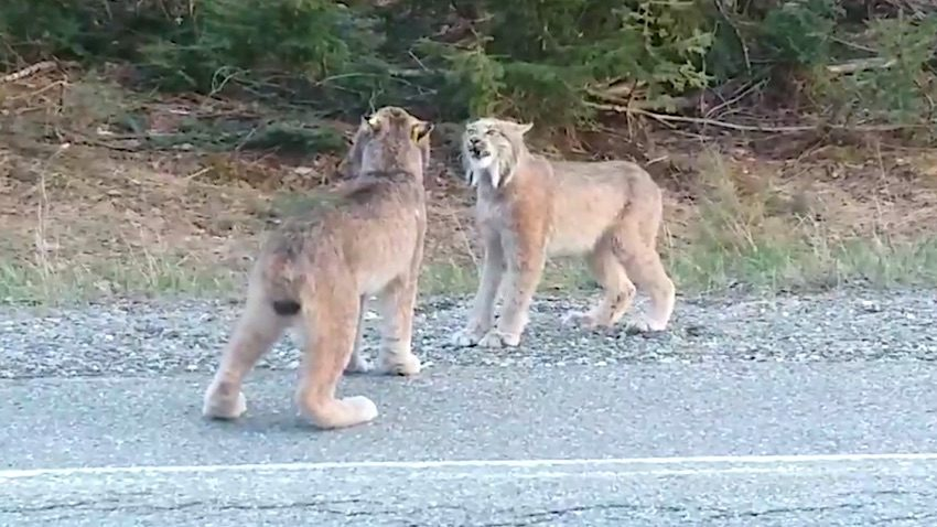 Lynx in standoff howl at each other.