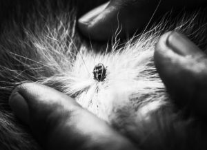 Tick on cat