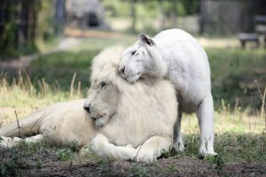 White male lion and white female tiger parents