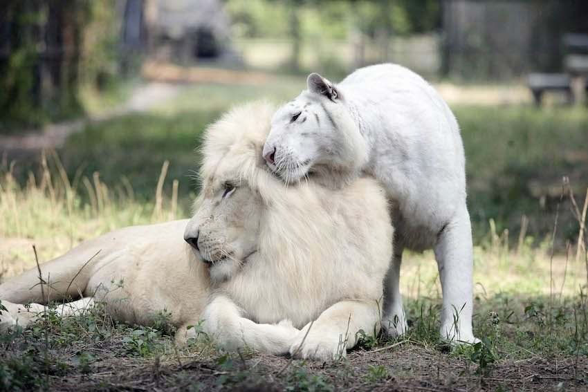 The parents are Ivory, the white male lion (left), and Saraswati, the white female tiger (right). Photo: Barry Bland.