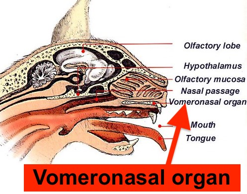 Vomeronasal organ in cats