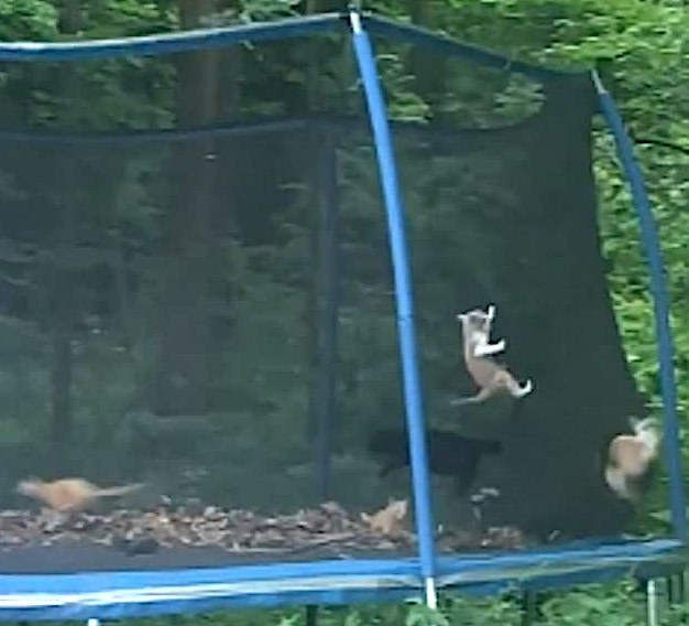 Cats trapped in fenced trampoline