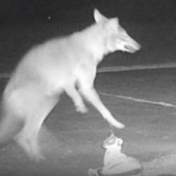 Coyote attacks cat statue in N. Carolina