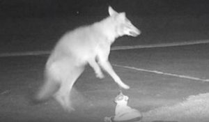 Coyote attacks cat statue in N. Carolina