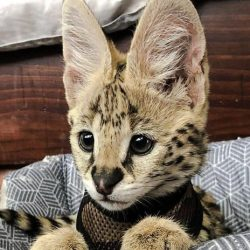 Serval cub with huge ears for sound hunting of rodents in long grass in Africa