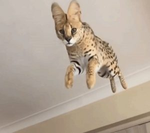 Flying serval! In the home.