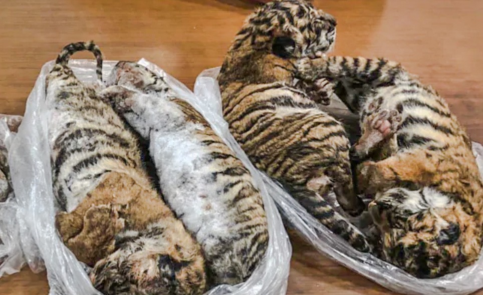Four of seven tiger frozen tiger cub carcasses destined for the Asian tiger body parts markerplace