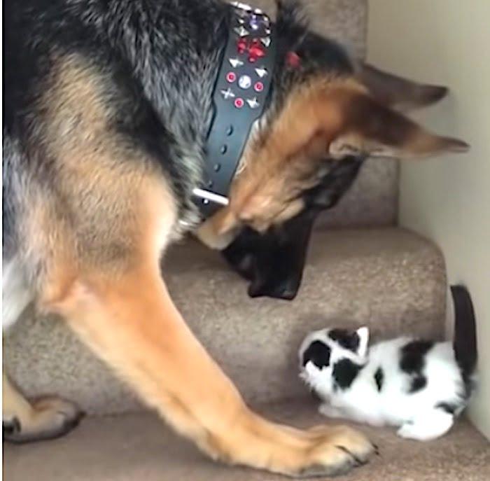 German Shepherd carries kitten up the stairs