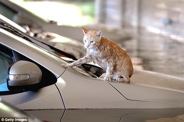 Hurrican Harvey cat swam to a car for survival