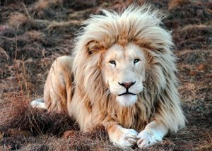 A 'WOW' lion mane. Photo in public domain or fair use.