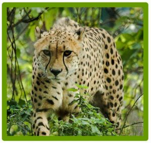 Male cheetah. Picture in public domain on Pinterest.